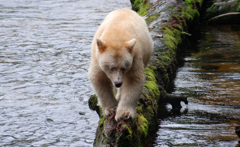 canada bc wildlife spirit bear bct