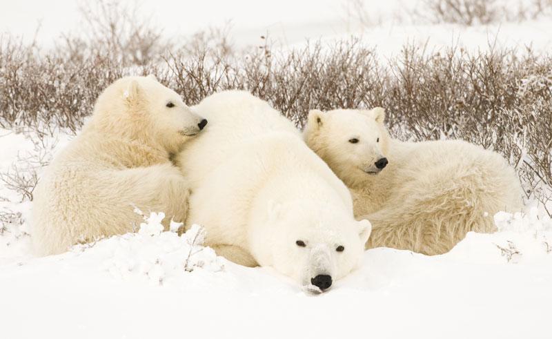 canada churchill polar bear mother and cubs in snow on tundra istock