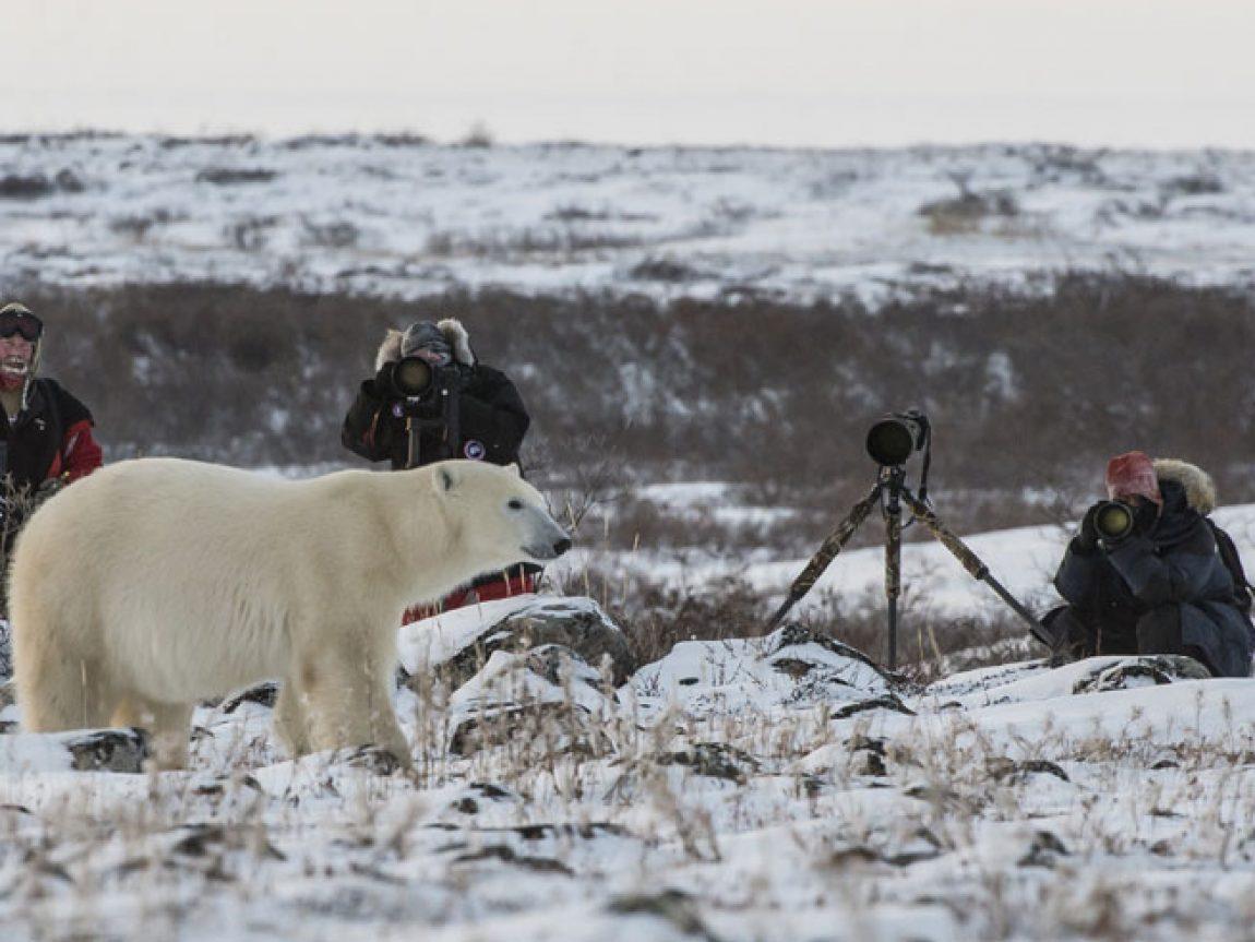 canada churchill polar bear photographers cw