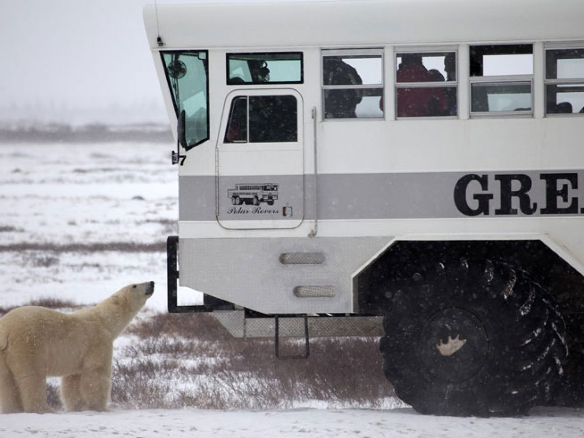 canada churchill polar rover and bear nh