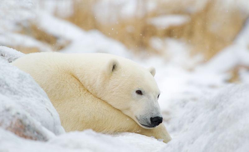 canada churchill wild bear dennis fast