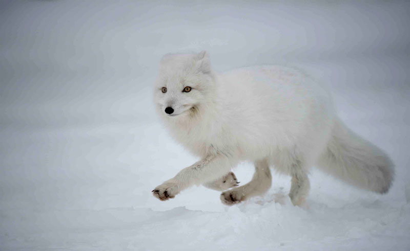 canada manitoba arctic fox winter nh
