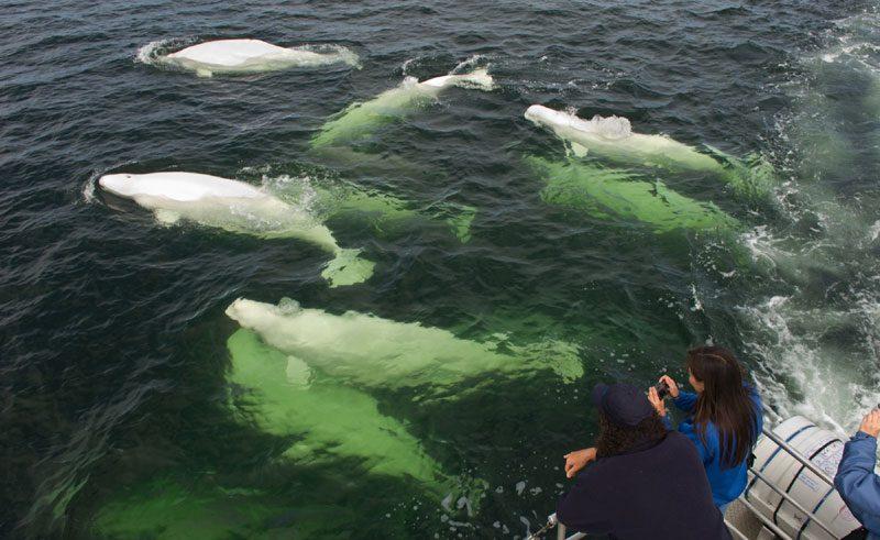 canada manitoba beluga whale watching tm