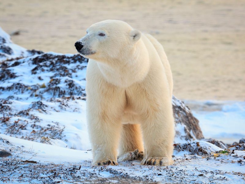 canada manitoba churchill polar bear on tundra adstk