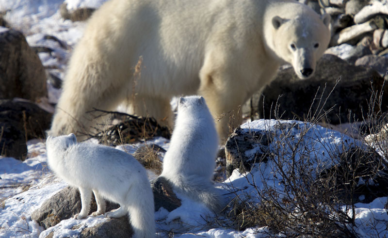 canada manitoba churchill seal river polar bear arctic fox cw