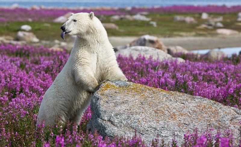 canada manitoba fireweed island polar bear cw