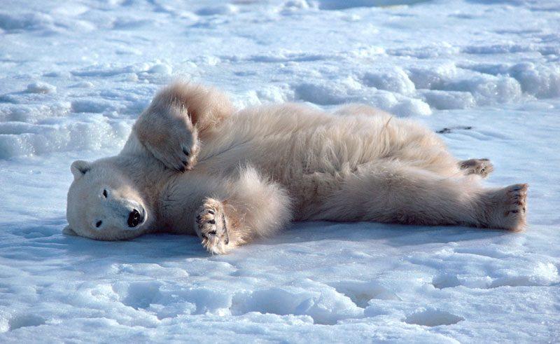 canada manitoba polar bear ice bca