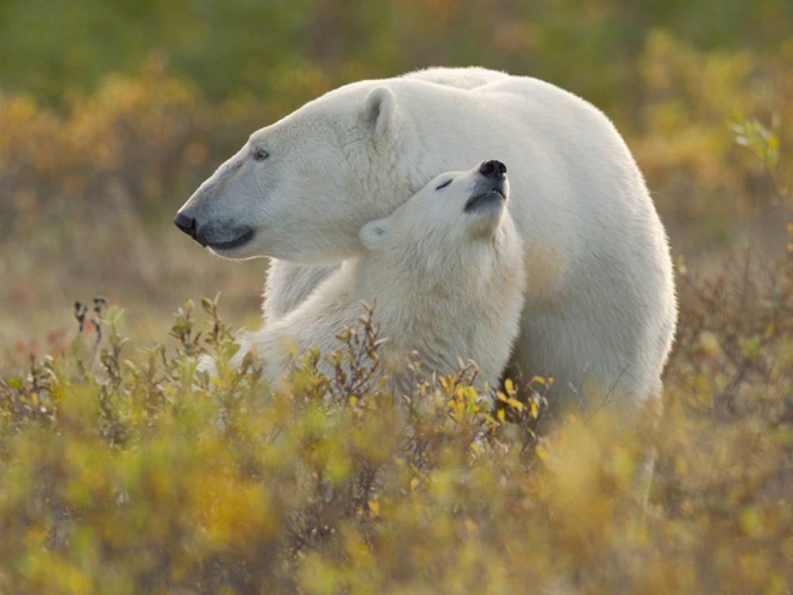 canada manitoba polar bear mother and cub cw