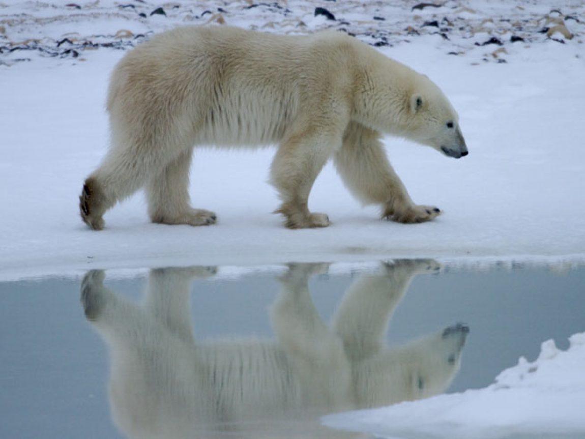 canada manitoba polar bear reflection nh