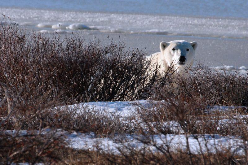 canada manitoba polar bear tundra istk