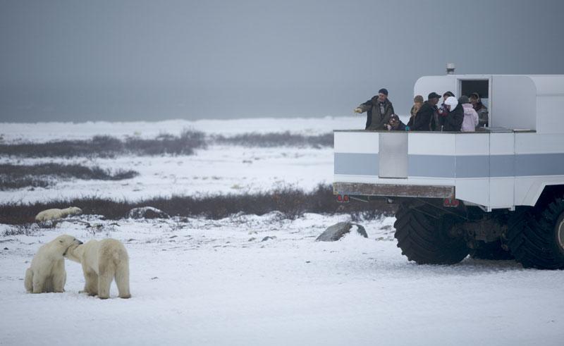 canada manitoba polar bear watching nh