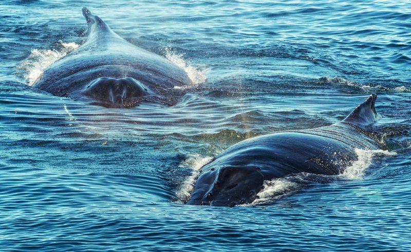 canada new brunswick humpback mother plus calf fundy istk