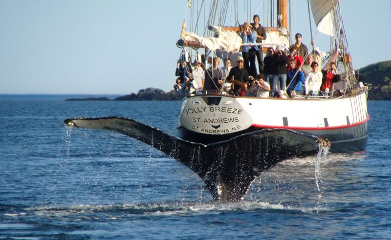 canada new brunswick whale watching bay of fundy nb