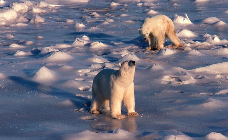 canada polar bears tundra bca