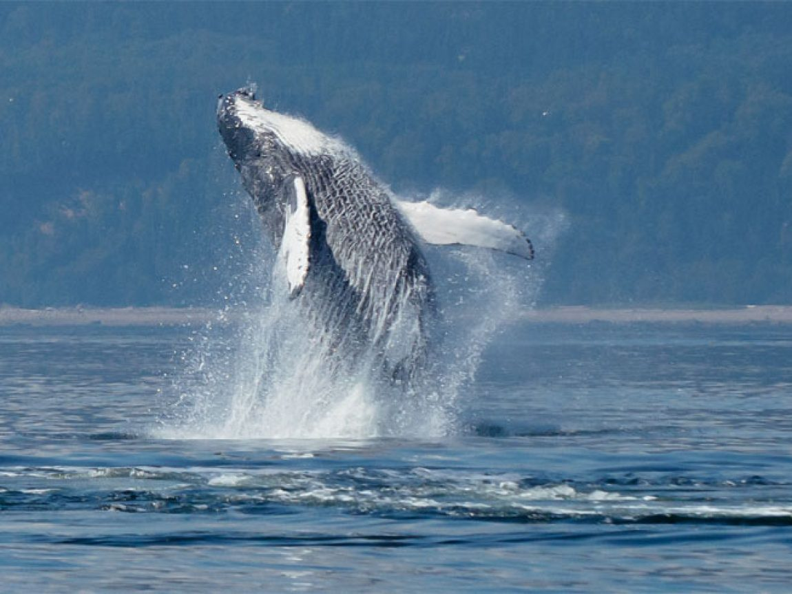 canada quebec humpback whale breaching dq