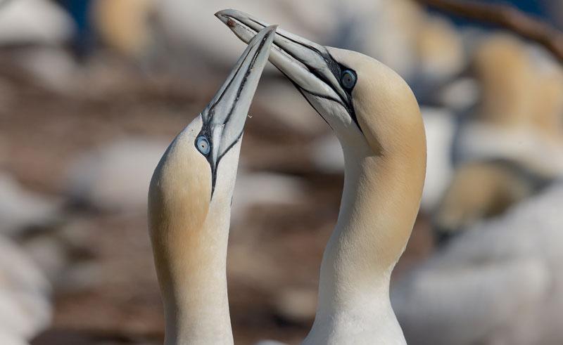 canada quebec northern gannets dq