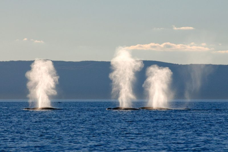 canada quebec whales in the st lawrence river dq