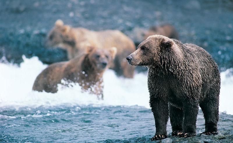 canada wildlife grizzly bear3 rh