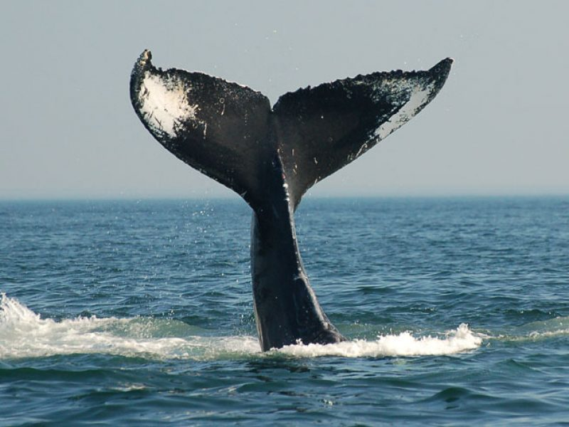 canada wildlife humpback whale tail ac
