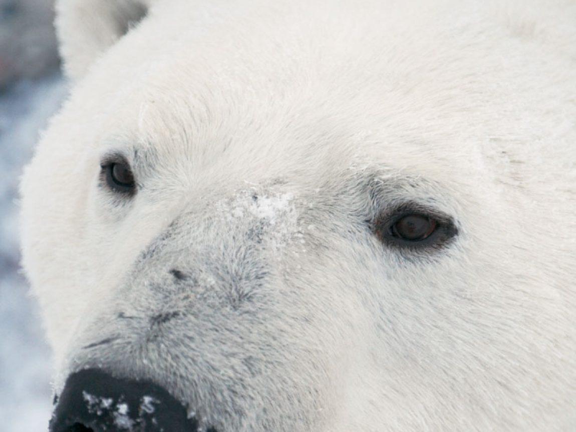 canada wildlife polar bear ctc