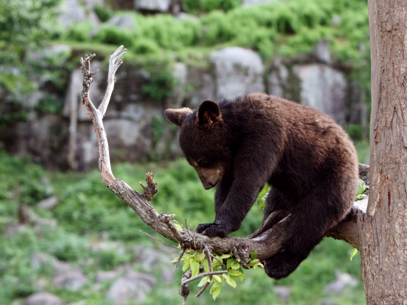 canada young brown bear istk