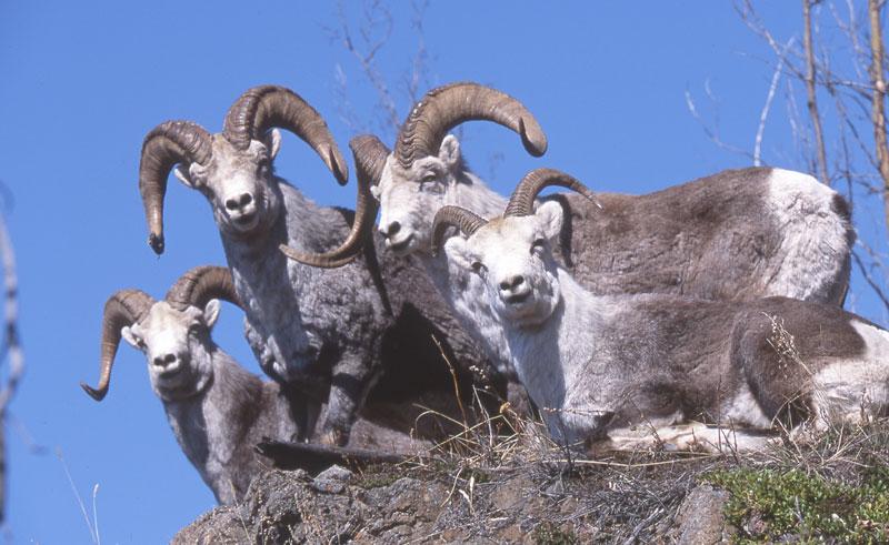 canada yukon dall sheep ty