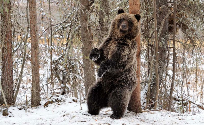 canada yukon grizzly bear scratching back sup