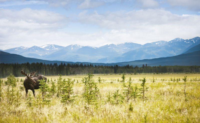 canada yukon kluane national park moose ctc