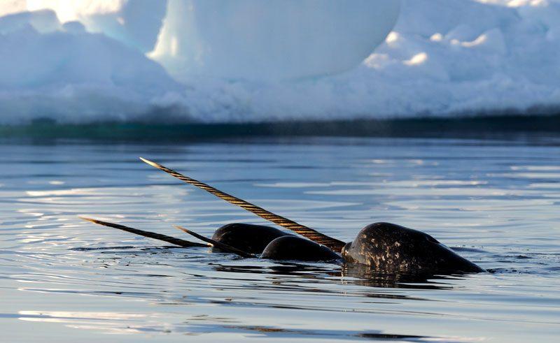 canadian arctic narwhal ak
