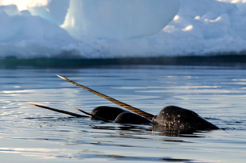 canadian arctic narwhal ak