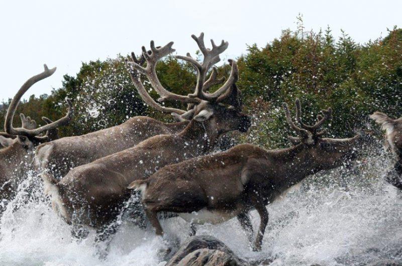 canadian arctic nunavik caribou summer tb