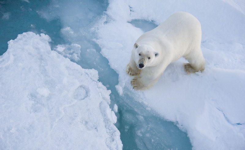 canadian arctic polar bear ac
