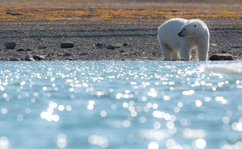 canadian arctic polar bear2 oo