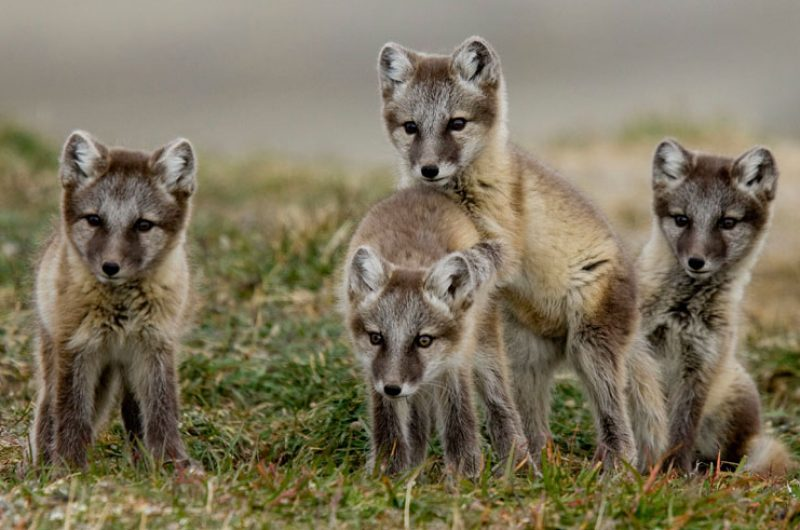 canadian arctic wildlife arctic foxes aw