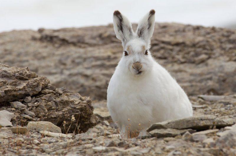 canadian arctic wildlife arctic hare aw