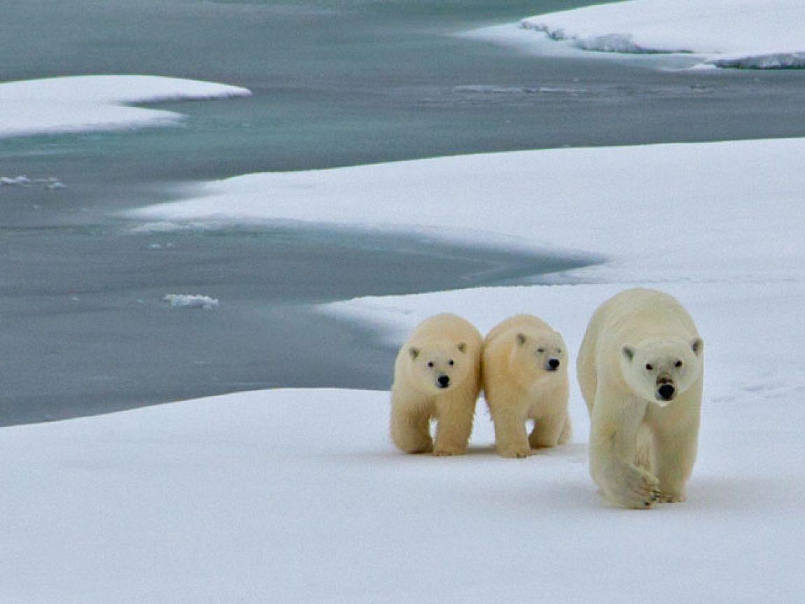 canadian arctic wildlife polar bear family oo