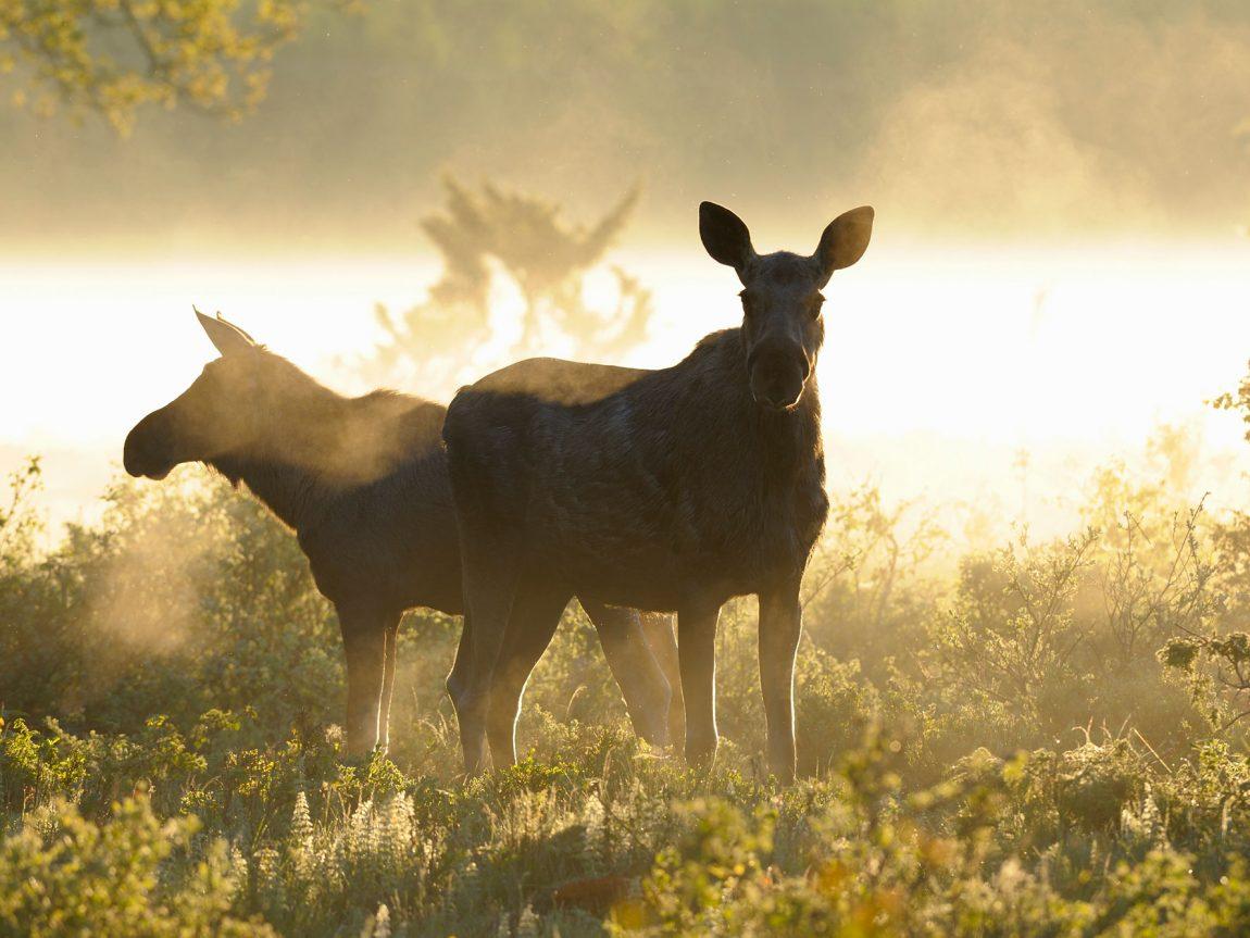 central sweden summer moose vs