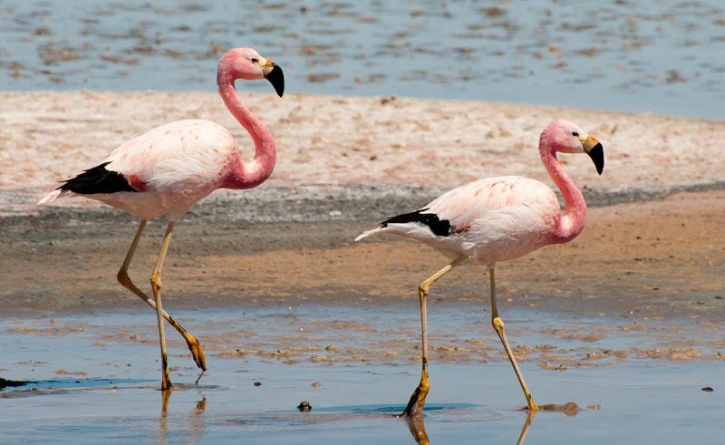 chile atacama laguna chaxa flamingos adstk
