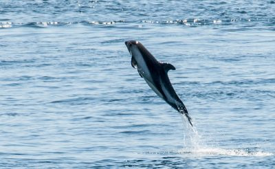 chile lake district chiloe dolphin istk