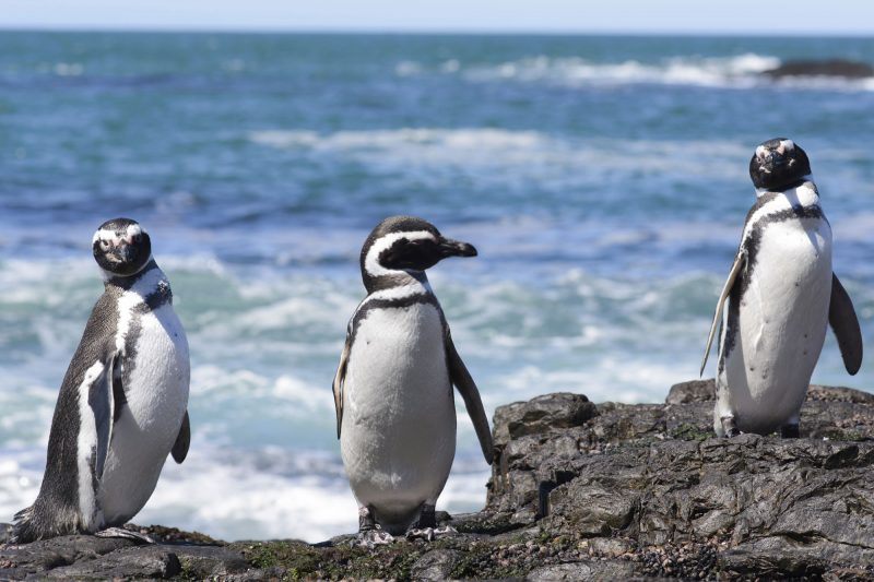 chile patagonia magellanic penguins istock