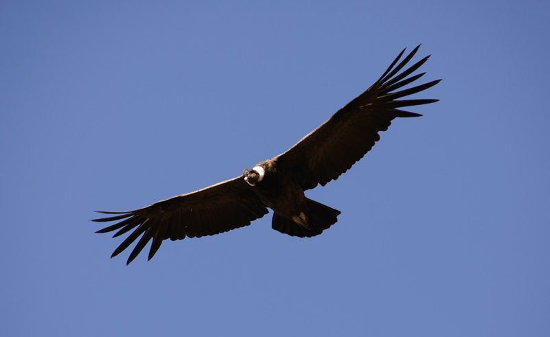 chile patagonia torres del paine condor as
