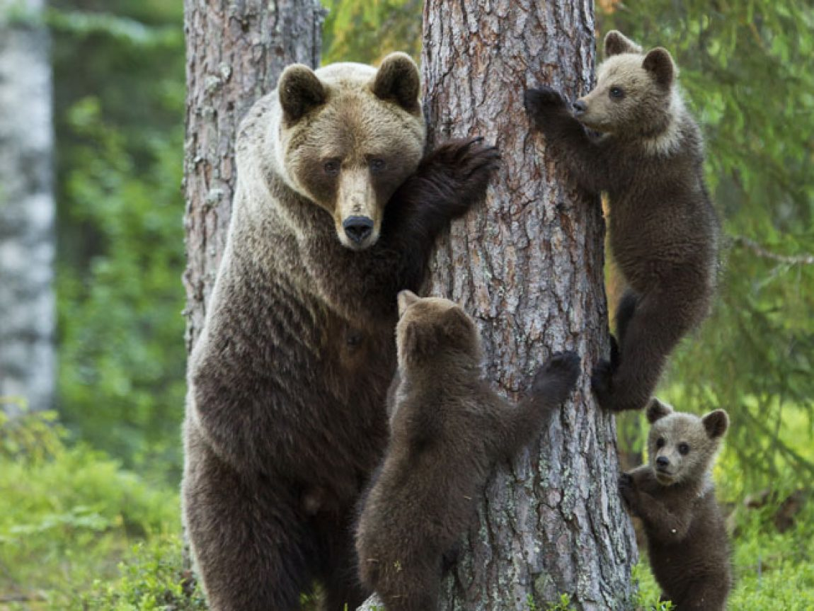 east finland brown bear and cubs playing istock