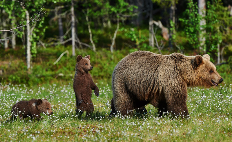 east finland brown bear and two cubs istock