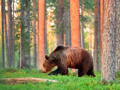 east finland brown bear in forest istk 1