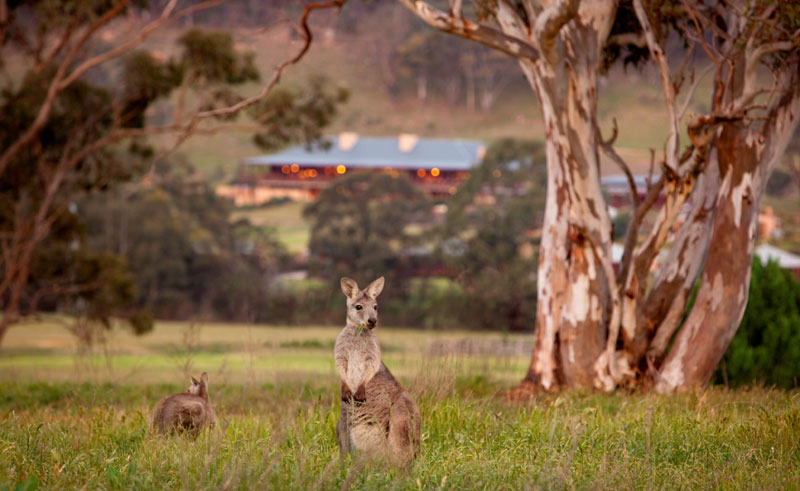 emirates one and only wolgan valley resort kangaroos 1