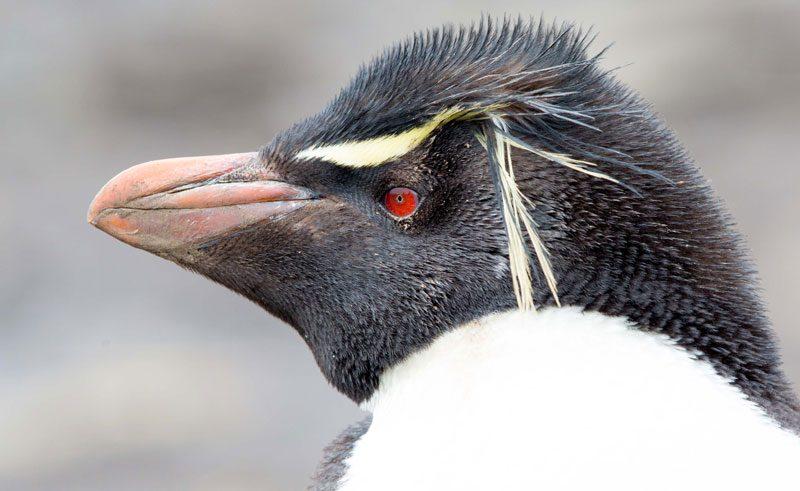 falkland islands rockhopper penguin close up ze