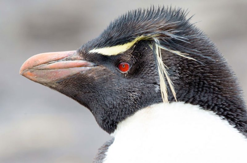 falkland islands rockhopper penguin close up ze