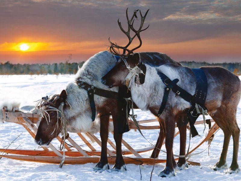 finland lapland reindeer winter sun do