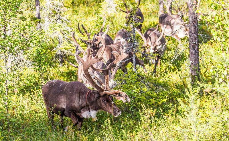 finland lapland summer reindeer istk