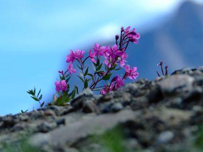 greenland arctic flora2 vg